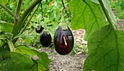 أثر التبخر – النتح Evapotranspiration على المحاصيل الصيفية