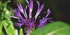 نبات جنس السونتوريا (Centaurea)
