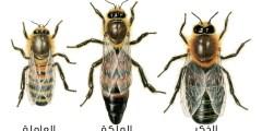 بالفيديو .. كيف يصنع النحل العسل؟