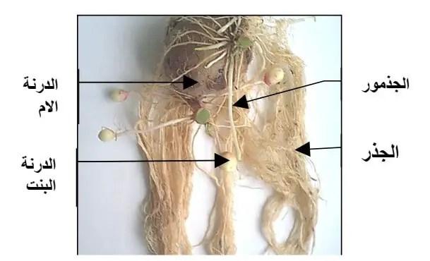 الشكل 1 . 1 مرفولوجيا نبات البطاطس - الجزء الترابي