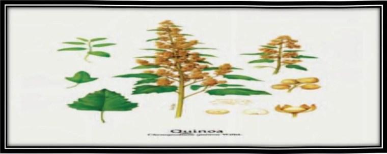 صورة2:نبات الكينواChenopodium quinoa Willd