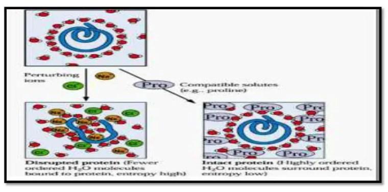 صورة 9:دور البرولين في حماية البروتين في وجود Bouchoukh , 2010 ) NaCl).