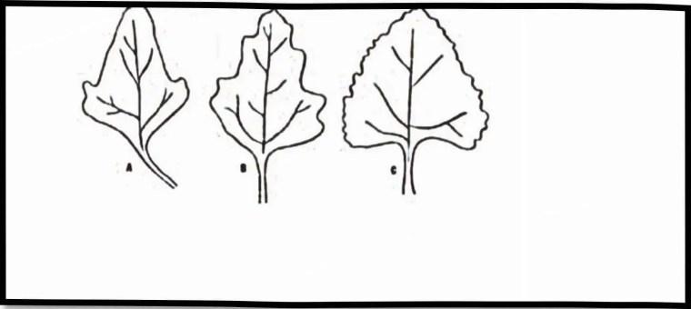 صورة 5:توضح تباین عدد الأسنان في أوراق نبات الكينوا(1979,.Gandarillas).