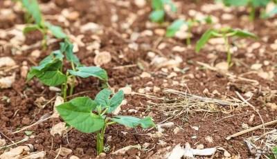 تأثير تطبيق تقنية الخشب الغصني المجزأ على بعض خواص التربة و نبات البطاطا صنف  Kuroda ونبات الفول صنف Hista