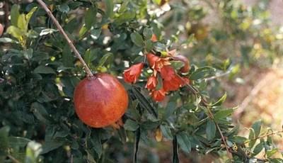 التصنيف النباتي لنبات الرمان .Punica granatum L