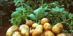 أهم أصناف البطاطا