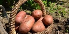 العمليات الزراعية لنبات البطاطا