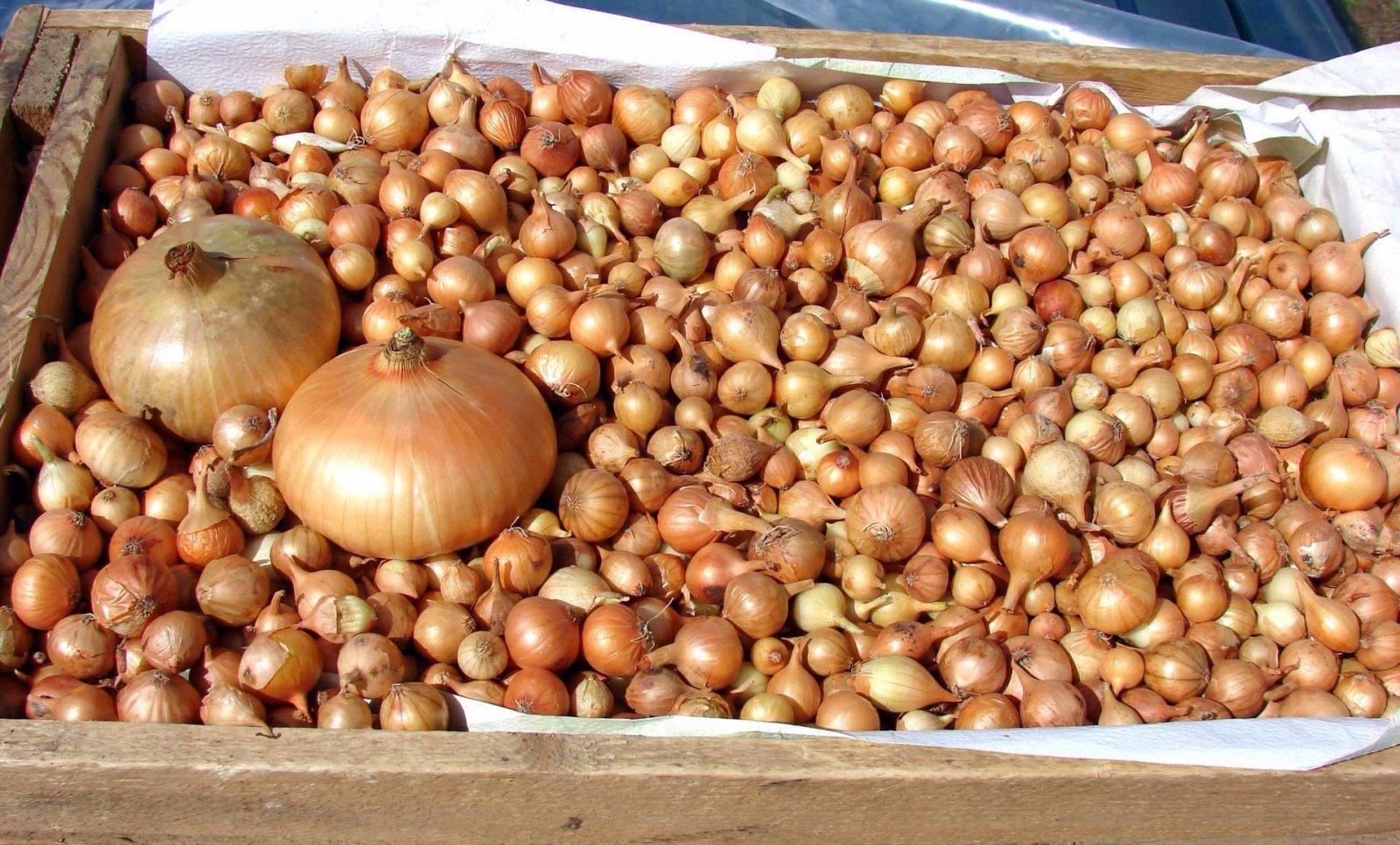 Comment Cultiver Les Oignons préparer l'oignon pour la plantation: un aperçu des méthodes