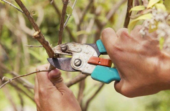 Эффективные методы посадки шелковицы. Шелковица: выращивание и уход, посадка и обрезка