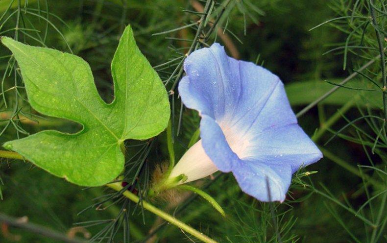 """La molla vento /""""Ipomoea Quamoclit/"""" delicato verde foglie fiori come stelle rosse."""