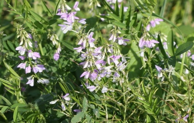 Augalai nuo hipertenzijos — tralistas.lt