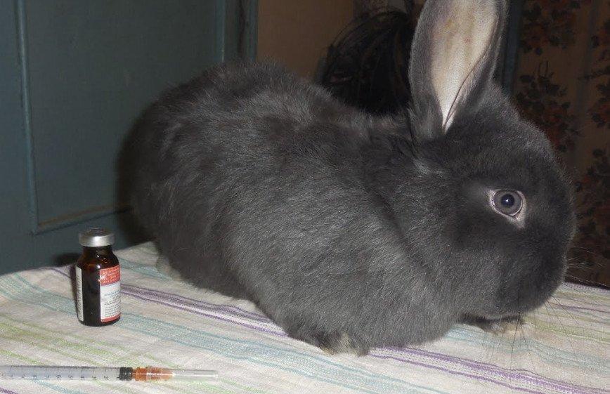 iepurii pierde în greutate atunci când se mută)