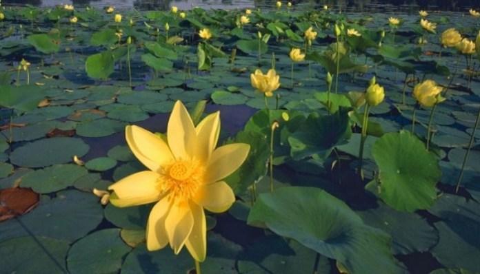 Plantas amarillas