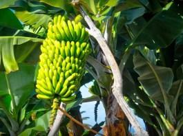 Siembra de plátanos