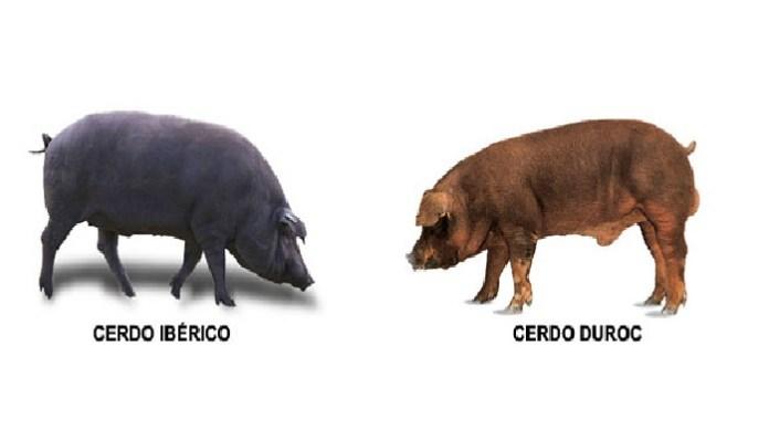 Dos tipos de razas de cerdos