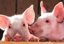 Cerdos Yorkshire