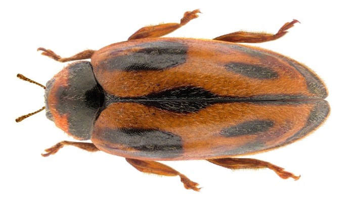 Coleóptero Rodolia Cardinalis