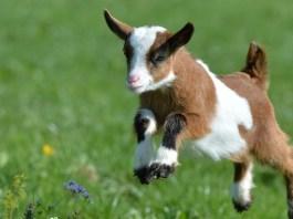 razas de ganado caprino