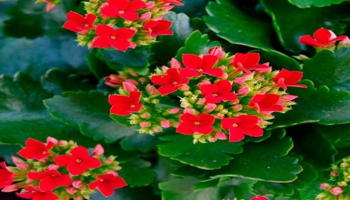 Kalanchoe flores rojas