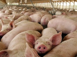 Enfermedades de cerdos 1