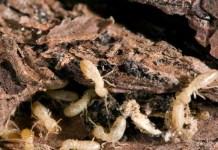 insectos que comen madera