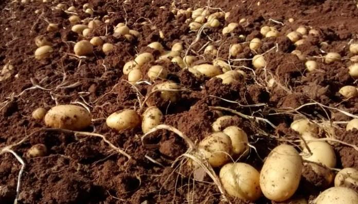 Fertilizantes para el cultivo de papa