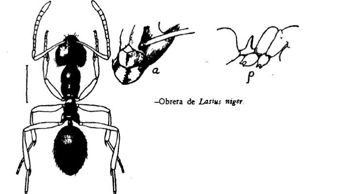 hormiga Lasius niger