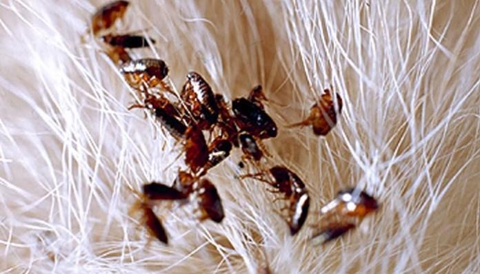 pulgas en el animal