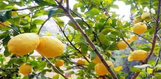 Cuando podar arboles frutales
