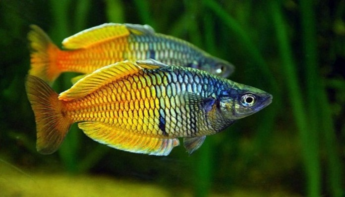 nutrición del pez arcoiris