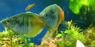 pez arcoíris