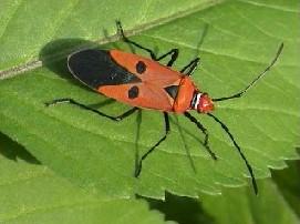 Red Cotton Bug Agropedia