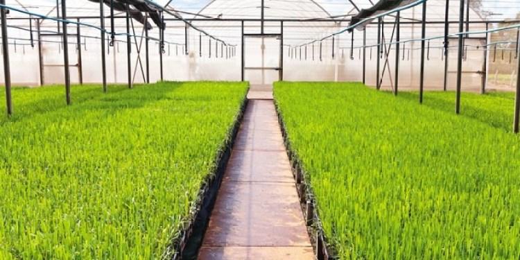 Como plantar a cana-de-açúcar