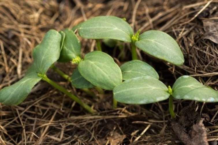 Adubação verde: conheça como melhorar a fertilidade do solo