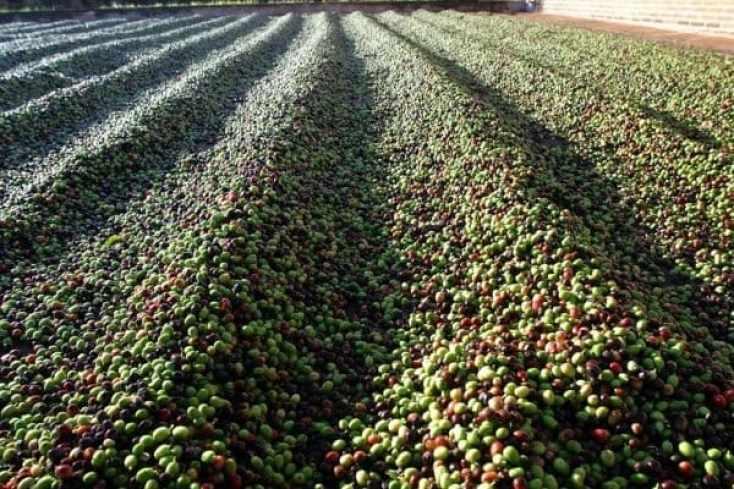 Secagem do café: importância e cuidados para alta qualidade!