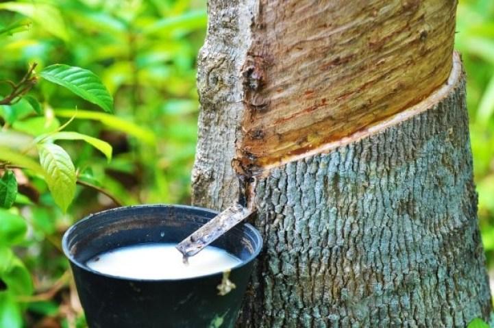 Produtos florestais não madeireiros: extração de látex