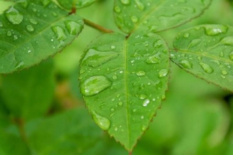 adubação foliar