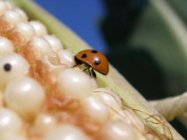 Controle biológico da lagarta do cartucho