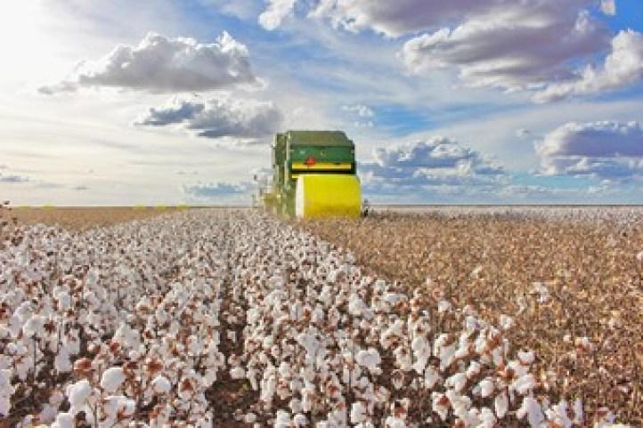 Colheita de algodão Mecanizada