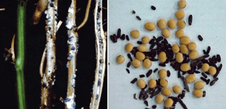 sementes de soja - Mofo Branco