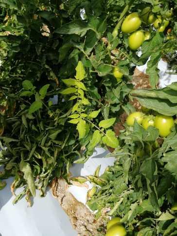 Deficiencia de hierro en las plantas