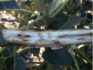Infestación de larvas de Copturus aguacatae