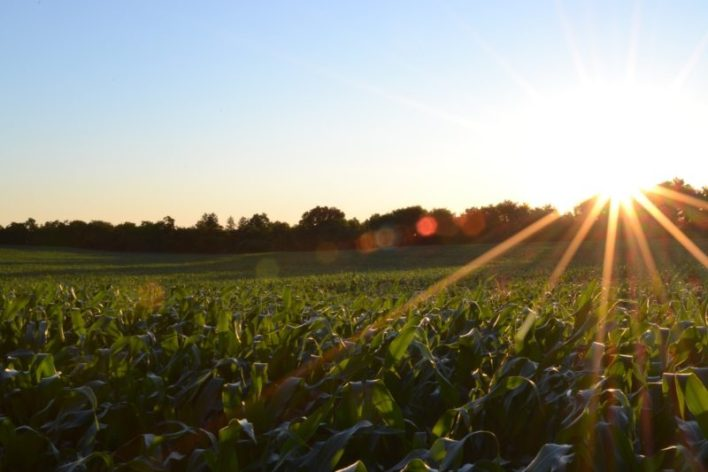 cultivo de milho
