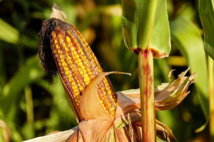 Foto de espiga de milho no campo