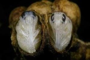 Личинка амбарного долгоносика