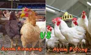 Perbedaan Ayam Kampung dan Ayam Potong (Ayam Negeri)