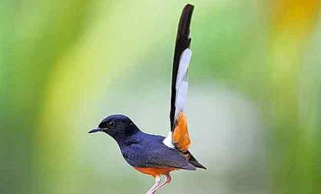11 Jenis dan Daftar Harga Burung Murai 2021