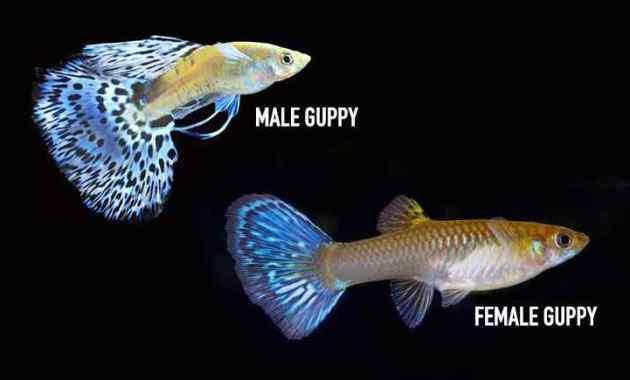 6 Cara Mengawinkan Ikan Guppy Terbukti Berhasil