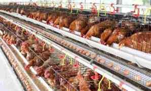 7 Cara Meningkatkan Produksi Ayam Petelur