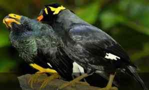 7 Cara Identifikasi Jenis Kelamin Pada Burung Beo